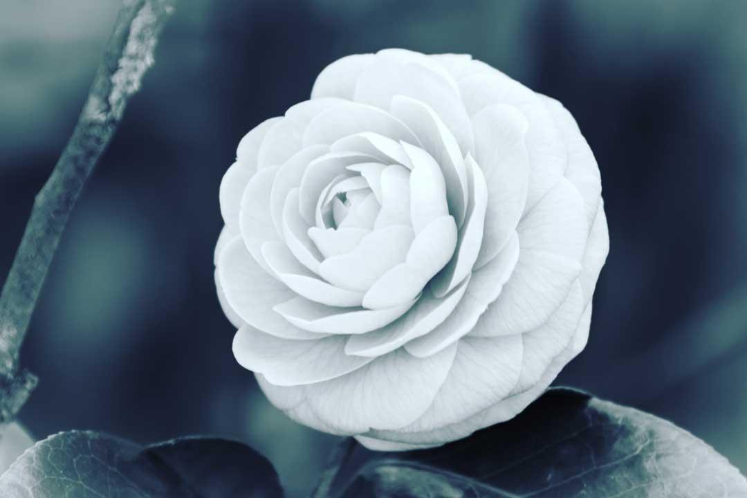 Tokio flower